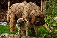 Two Dogs on the fence. 2 protective dogs seen through a garden fence, one samall one big royalty free stock image