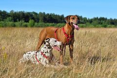 Two dogs on a field. Broun Dalmatian dog and Ridgeback dog reasting on a rural background Stock Image