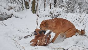Two dogs fight in the winter on the street. Cute dog stray puppies playing pet outdoors together . Two dogs fight in the winter on street. Cute dog stray stock footage