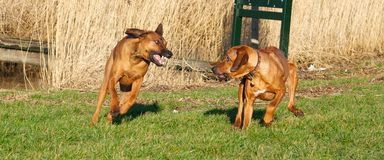 Two dogs fighting Stock Images