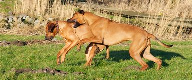 Two dogs fighting Stock Image