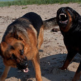 Two dogs fighting on the beach Royalty Free Stock Image