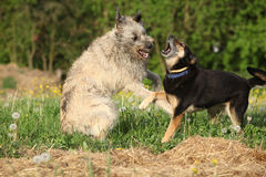 Two dogs fighting with each other Royalty Free Stock Images
