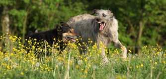 Two dogs fighting with each other in yellow flowers Royalty Free Stock Photo