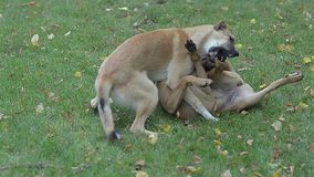 Two dogs are fighting evil in the park on the grass. stock video