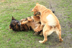 Two dogs are fighting Royalty Free Stock Image