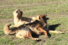 Two dogs are fighting Stock Images