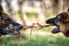 Two Dogs Fighting Over Stick Royalty Free Stock Photo