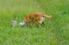 Two dogs fighting in spring grass Stock Images