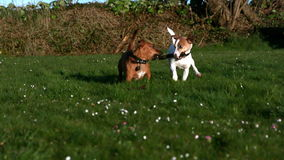 Two dogs fighting for a stick in the garden stock footage