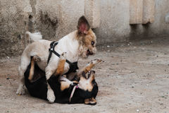Two dogs fighting Royalty Free Stock Images