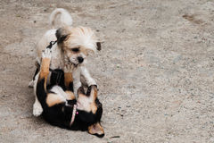 Two dogs fighting Stock Photos