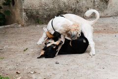 Two dogs fighting Royalty Free Stock Photo