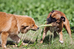 Two dogs fighting about turnip leaves Royalty Free Stock Image