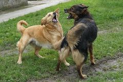 two dogs are fighting Stock Photo