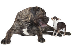 Two dogs Stock Image