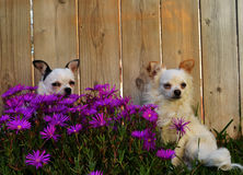 Two dogs in flowers Stock Image