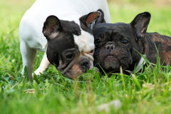Two dogs French bulldogs in the summer. On a nature walk and communicate with each other stock photos