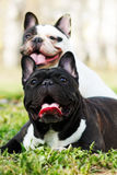 Two dogs French bulldogs in the summer. Sitting outdoors on the grass, relaxing in the shade stock image