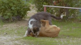 Two dogs frolic on the lawn slow motion video stock video footage
