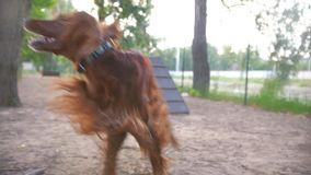 Two dogs frolic outdoor. In the Park on the Playground stock video footage