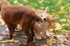 Two beautiful dogs frolic outdoors in the fall. Two dogs frolic outdoors in the fall Royalty Free Stock Photo