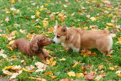 Two beautiful dogs frolic outdoors in the fall. Two dogs frolic outdoors in the fall Royalty Free Stock Image