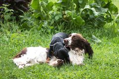 Two dogs funny playing rough in grass royalty free stock images