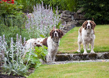 Two dogs in the garden. Two brown and white  Cocker spaniel dogs standing in a garden Stock Photography
