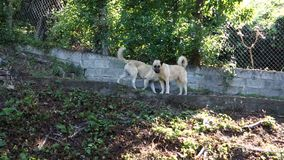 Two dogs in a garden. Two pets guarding a property in the caribbean stock video