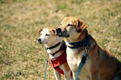 Two dogs gaze at life in NH Stock Images
