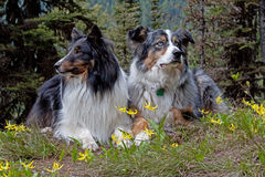 Two Dogs in the Glacier Lilies. This image of the collie and the australian shepherd was taken in NW Montana as some of the spring wildflowers started to bloom Stock Images