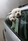 Two dogs going for a ride in the car Stock Image