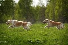 Two dogs Golden Retriever fun run Stock Images