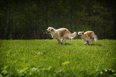 Two dogs Golden Retriever Royalty Free Stock Photography