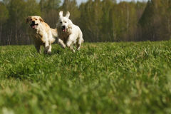 Two dogs Golden Retriever fun run Royalty Free Stock Photography