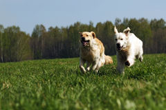 Two dogs Golden Retriever fun run. In the summer on the nature of each other royalty free stock photos