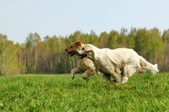 Two dogs Golden Retriever fun run Stock Image
