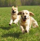 Two dogs Golden Retriever fun run Stock Photography