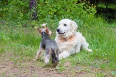 Two dogs - golden retriever and  yorkshire terrier met on walk Royalty Free Stock Image