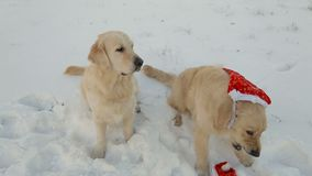 Two dogs are golden retrievers in Christmas red hats. Retriever takes off the cap from the other. Two dogs are golden retrievers in Christmas red hats stock video footage