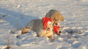 Two dogs are golden retrievers in Christmas red hats. Retriever takes off the cap from the other. Two dogs are golden retrievers in Christmas red hats stock footage