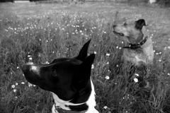 Two dogs in grass in black and white. stock images