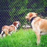 Two dogs on the grass royalty free stock photo