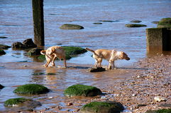 Two dogs. Great fun in the sea two dogs, water, beach, sand, summer, vacation, holiday, free weekend vacation with family and dogs on the sea, the sound of waves Royalty Free Stock Image