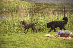 Two dogs guarding their territory Royalty Free Stock Photography