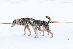 Two dogs in harness pulling a sleigh competitions Royalty Free Stock Image
