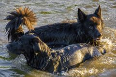 Two dogs having fun in a river Royalty Free Stock Images