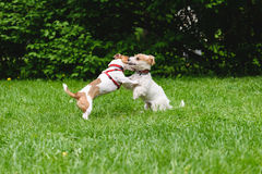 Two dogs hugging and kissing while rearing up Stock Image