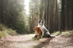 Two dogs hugging. pet for a walk in the woods. Nova Scotia duck tolling Retriever and Border collie. Two dogs hugging. pet for a walk in the woods. Toller, Nova stock images